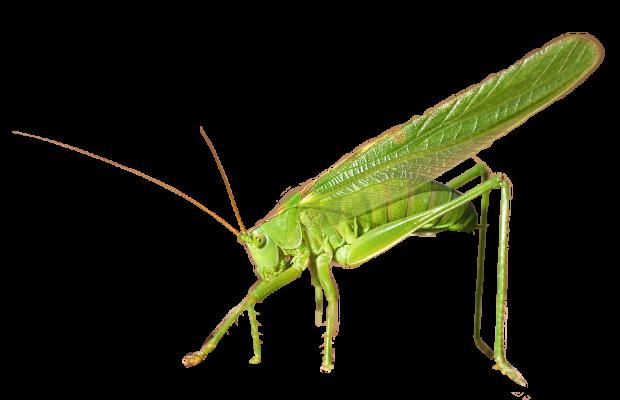 kobylka-zelena