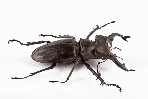 stockvault-lucanus-formosanus-beetle133905